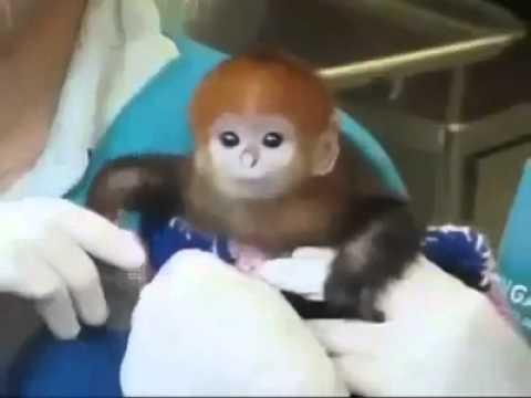 Cute - Cutest Baby Monkey