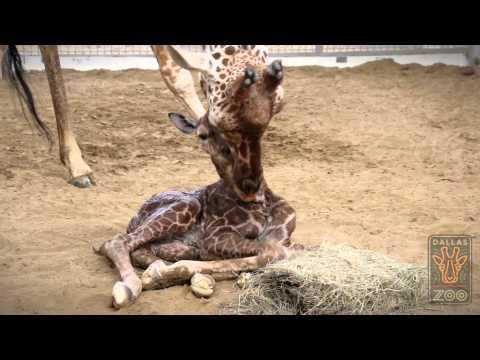 Dallas Zoo's Cutest New Member - Baby Giraffe