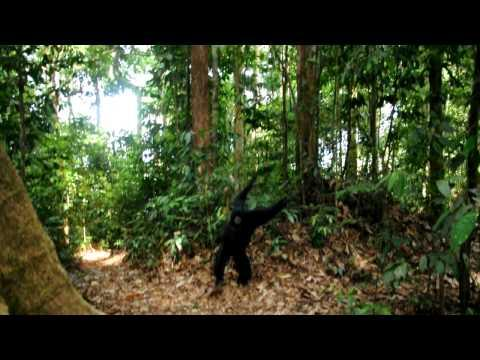 Cute - Black Gibbon Meets The People