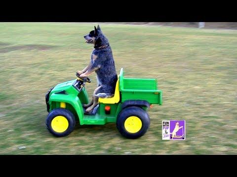 Cute - Dog Drives The Toy Truck