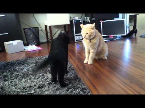 Jokes - Intense Fight Between Cats