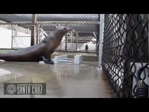 Cute - Head-Bobbing Sea Lion