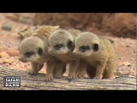 Cute - Baby Meerkats Running Around
