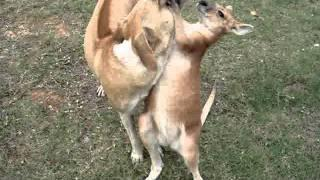 Cute Fight Between Dog And A Kangaroo