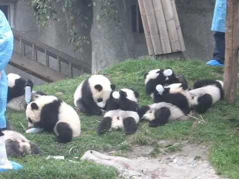 Feeding Time For Adorable Baby Pandas