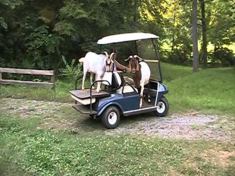 Jokes - Goats Ride Golf Cart