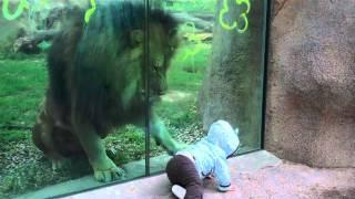 Lion Vs Baby At The Zoo