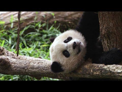 Panda Cub Bao Bao Celebrates 1st Birthday