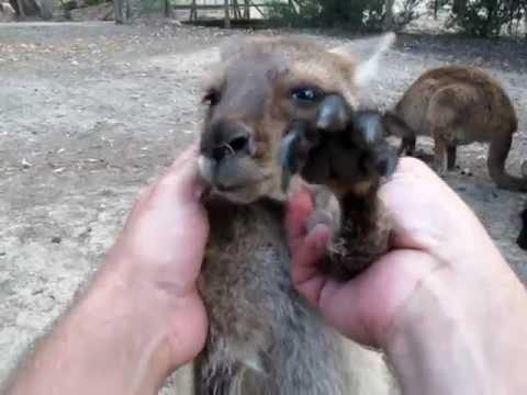 Cute - Baby Kangaroo Enjoys Getting Massage