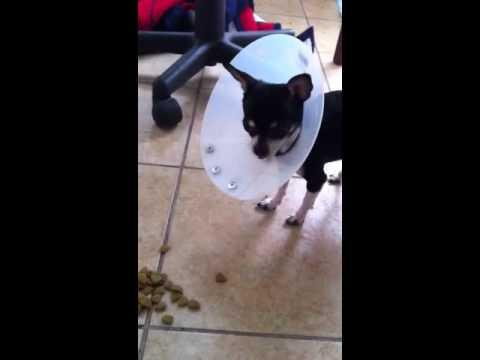 Pets - Dog Hates His Cone