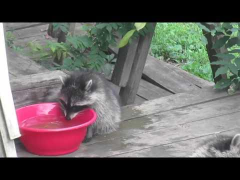 Baby Raccoon Cools Down In The Water Bowl