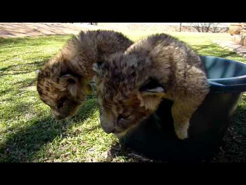 Cute - Lion Cubs Try To Escape From Bucket