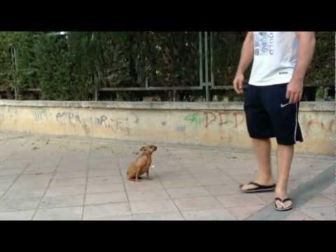 Cute - Little Dog Shows Off Tricks
