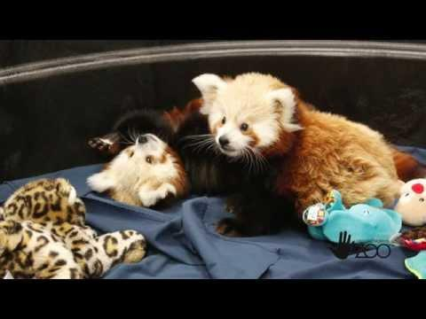 Cuteness Overload With Red Panda Twins