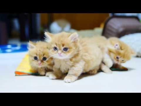 Play Fighting Fluffy Munchkin Kittens