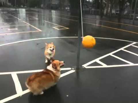 Cute - Cute Corgi Dogs Play Tetherball