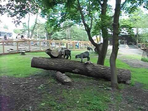 Cute - Baby Goats Playing On The Log