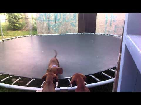 Dachshund Puppy Plays On The Trampoline