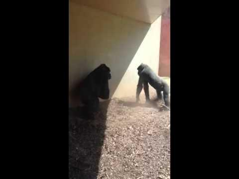 Don't Mess With Gorilla's Baby