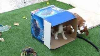 Cute Puppies Play In The Box