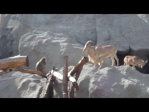 Jokes - Monkey Picks A Fight With Goat