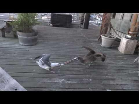 Jokes - Seagull Tries To Steal The Fish