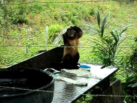 Monkey Runs His Own Dry Cleaning Business