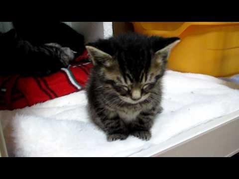 Cute - Kitten Falling Asleep
