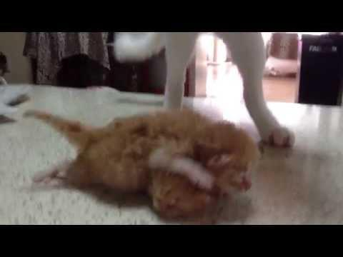 Mother Cat Gives Her Kittens Fighting Lesson