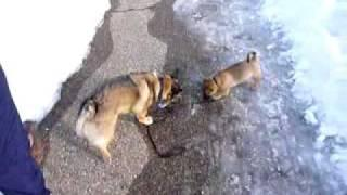 Dog Takes The Puppy Out For A Walk