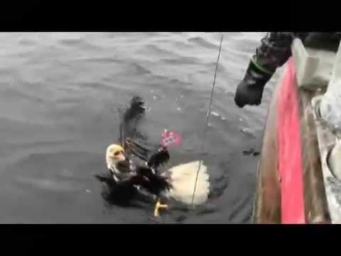 Canadian Fishermen Rescues A Eagle From The Water