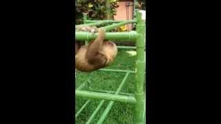 Cuteness Overload With Baby Sloth