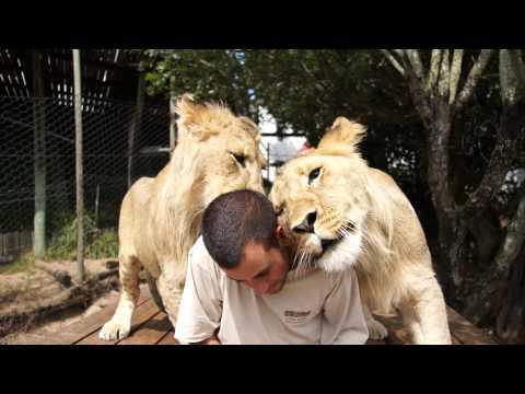 Cute - Man Hugs And Cuddles With Lions