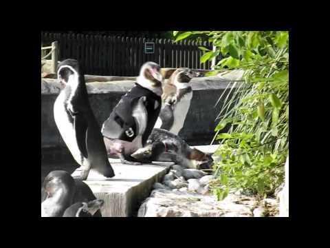 Cute - Penguin Wears Wetsuit