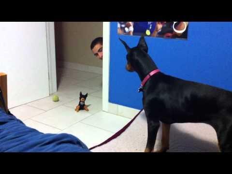Jokes - Doberman Gets Scared Of Stuffed Toy