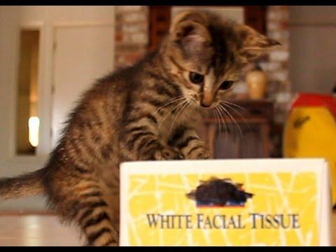 Kitten Vs The Tissue Box