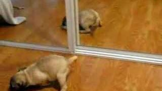 Cute Pug Puppy Discovers The Mirror