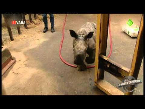 Baby Rhino's Escape From The Stable