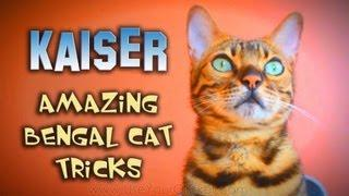Bengal Cat Shows Off Tricks