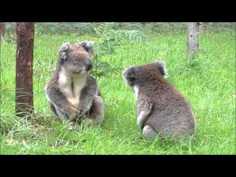What Are These Koalas Fighting About