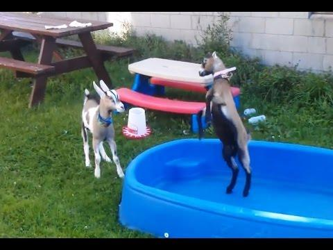 Adorable And Cute Baby Goats