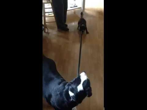 Puppy Wants To Take The Dog For A Walk