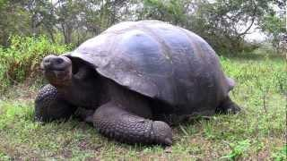 Curious Giant Galapagos Tortoise Vs The Camera