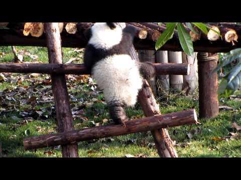 Cute - Baby Panda Tries To Climb