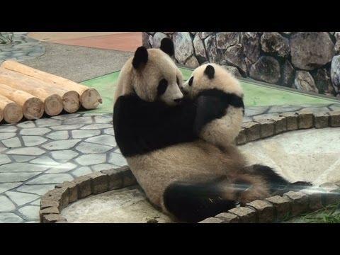 Cute - Baby Panda Gives A Kiss