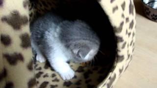 Cuteness Overload With Scottish Fold Munchkin Kitten