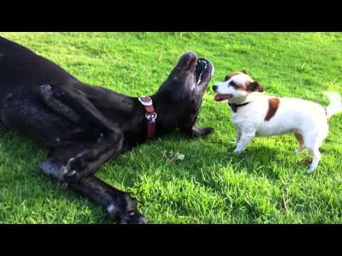 Cute - Jack Russell Plays With Great Dane