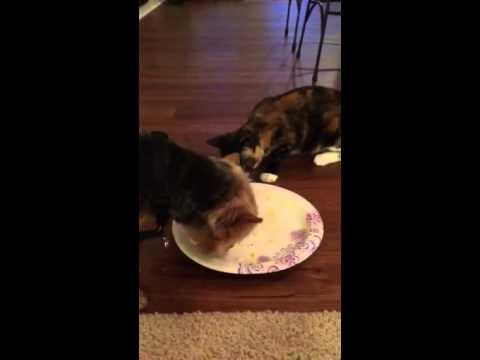 Dog Doesn't Want To Share The Food With Cat