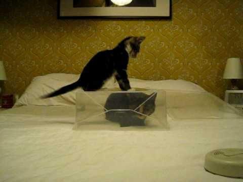 Jokes - Kitten Tries To Get Inside A See Through Plastic Box