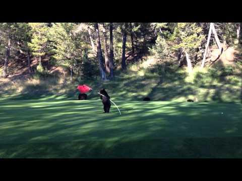 Black Bear Cub Vs The Golf Course Flag